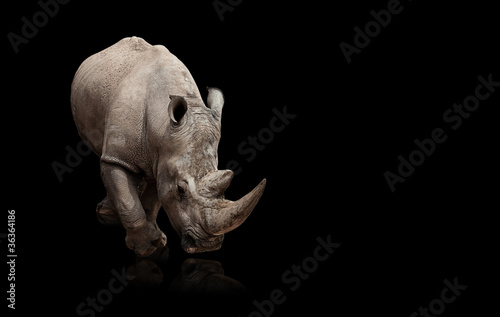 La pose en embrasure Rhino rhinoceros