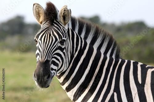 Tuinposter Zebra Zebra Portrait