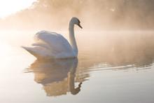 Pale Dawn Swan