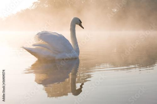Poster Cygne Pale dawn Swan