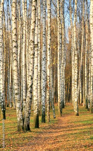 Foto op Plexiglas Berkbosje Pathway in an autumn birch grove