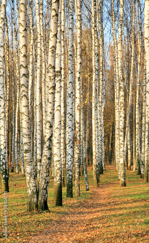 Foto op Aluminium Berkbosje Pathway in an autumn birch grove