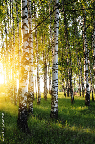 birch trees in a summer forest #36420597