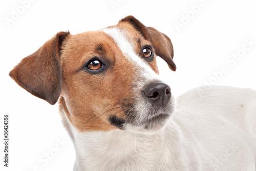 Fotografie, Obraz  Jack Russel Terrier