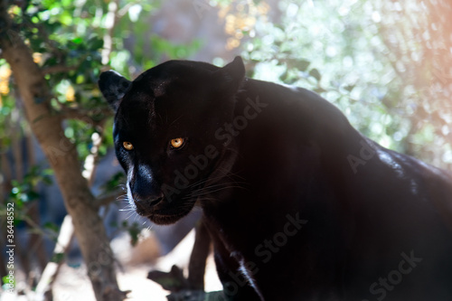 Photo Stands Panther Puma in shadow of tree