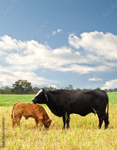 фотография  mother and baby cow Australian bred beef cattle