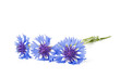 canvas print picture - Cornflower on the white surface