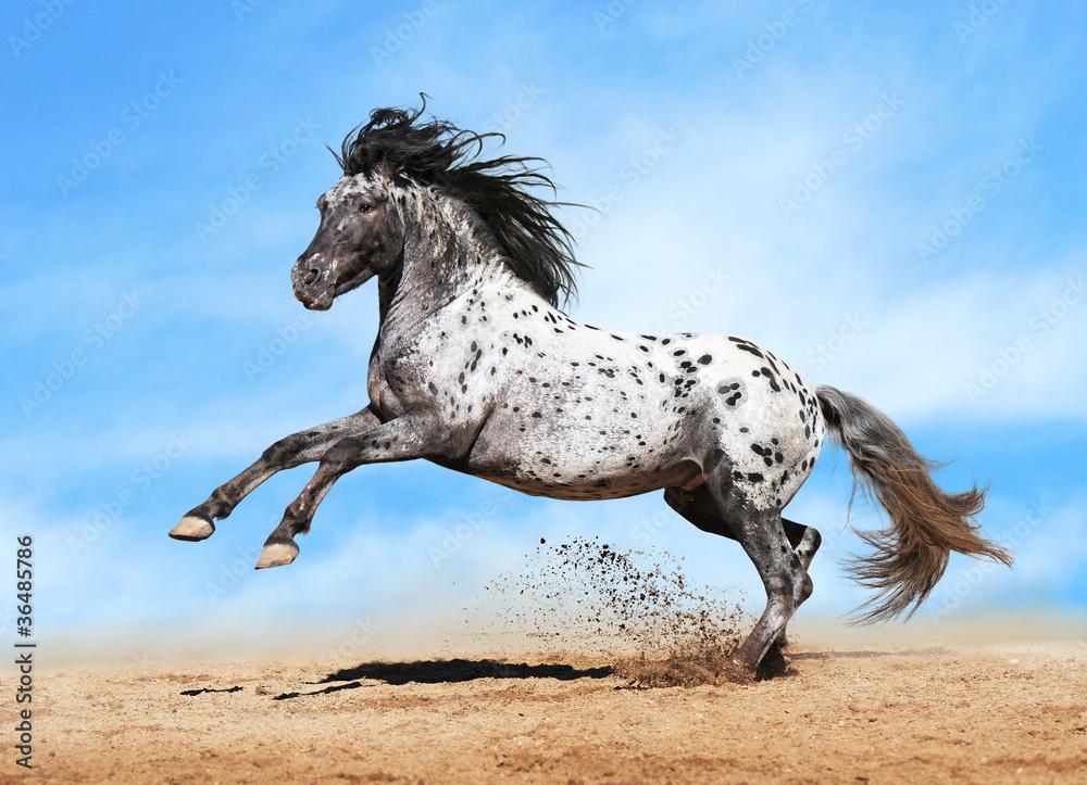 Fototapety, obrazy: Appaloosa horse play in summer