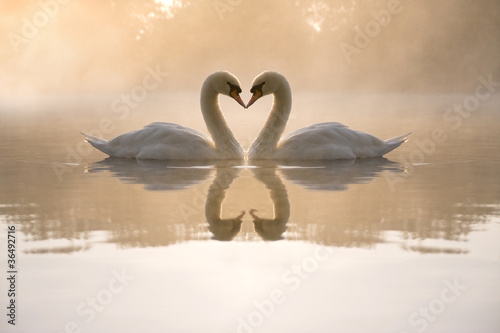 Photo sur Toile Cygne Swans forming love heart