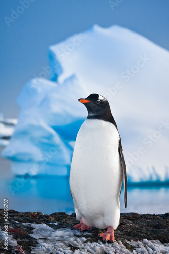 Recess Fitting Antarctic penguin on the rocks