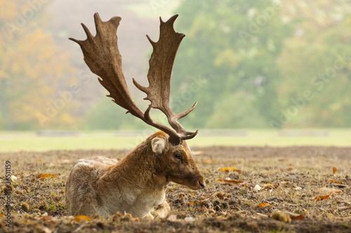 Fototapeta Fallow deer obraz