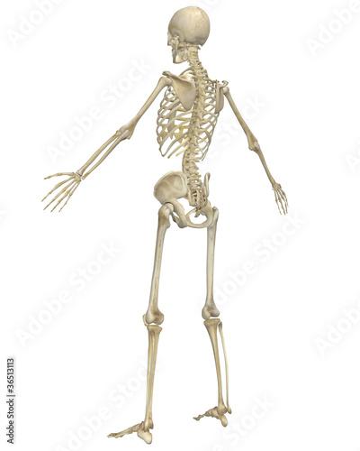Human Skeleton Anatomy Angled Rear View - Buy this stock ...