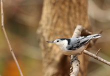 White-breasted Nuthatch, Sitta...