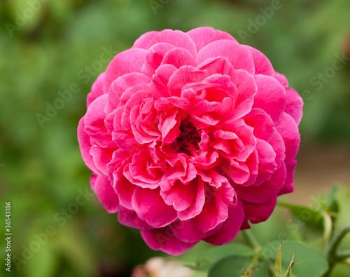 Garden Poster Pink pretty pink rose