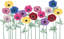 Anemones - Group Of Flowers Isolated Over White
