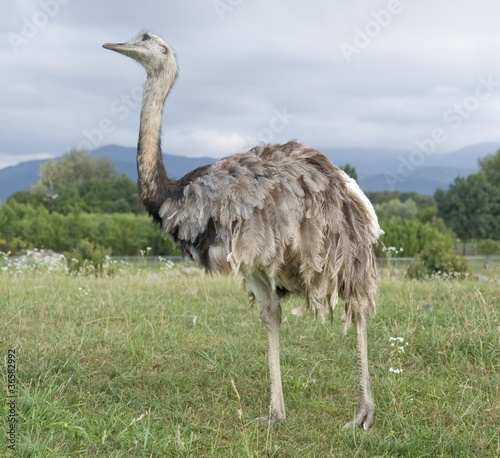 Staande foto Struisvogel Greater Rhea