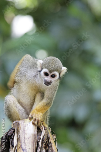 Tuinposter Eekhoorn Singes Saimiris de Guyane