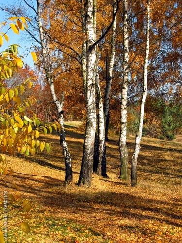 Foto op Plexiglas Berkbosje colorful autumn forest