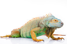 Portrait Of Iguana On Isolated...