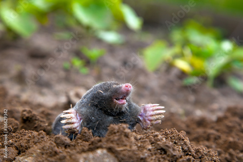 Fotografie, Obraz  Mole in ground. Real picture