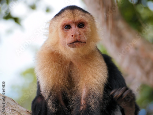 Obraz na plátne Head of white-faced capuchin monkey, national park of Cahuita, Central America,