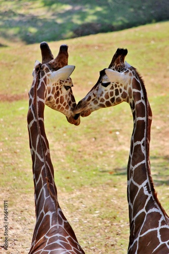 Giraffes kissing Poster