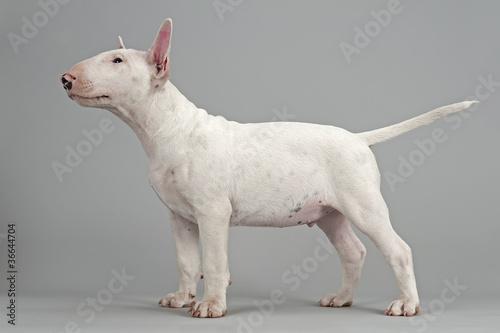 Leinwand Poster Dog Bull Terrier-12858