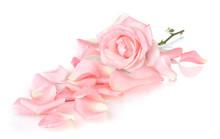 Beautiful Pink Rose And Petals...
