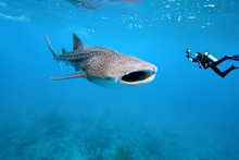 Whale Shark And Underwater Pho...