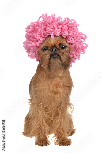 Fotografija  Cute griffon dog with pink curly wig