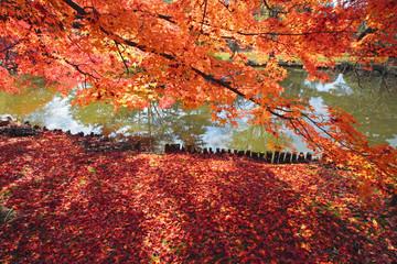 Fototapeta日本庭園のもみじ