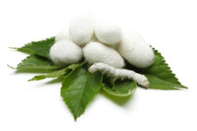 Silk Cocoons With Silk Worm