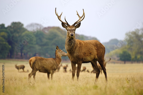 Poster Cerf Herd of red deer stags and does in Autumn Fall meadow
