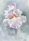 Kolekcja kwiatów akwarela: Iris - 36723913