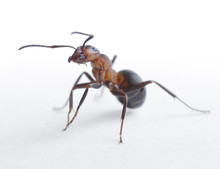 Ant Formica Rufa On Light Background