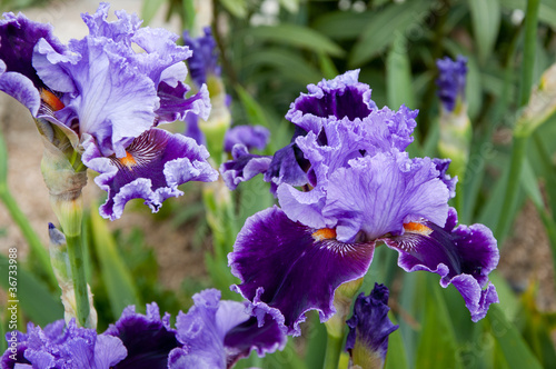 Beautiful purple irises