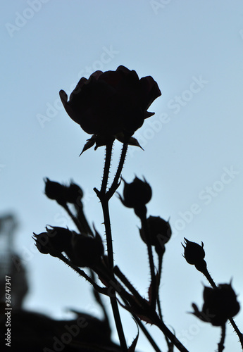 Poster Floral black and white Rose