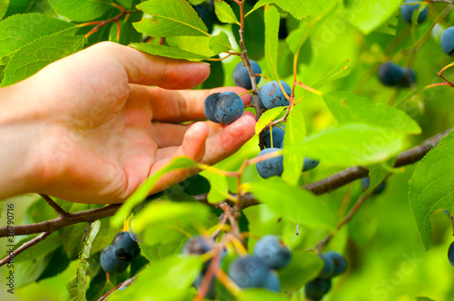Photo  Blackthorn in hand