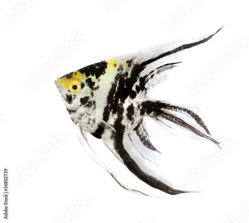 Photo Angel fish