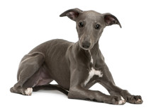 Whippet Puppy, 6 Months Old, L...