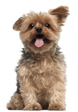 Yorkshire Terrier, 4 And A Half Years Old, Sitting