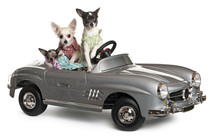 Three Chihuahuas Sitting In Convertible
