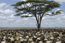 Herd Of Wildebeest Migrating I...