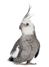 Male Cockatiel, Nymphicus Holl...