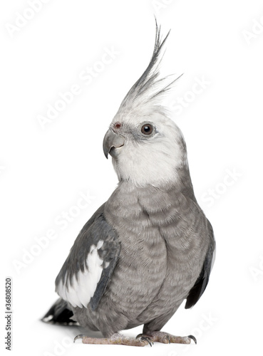 Fotografie, Tablou Male Cockatiel, Nymphicus hollandicus