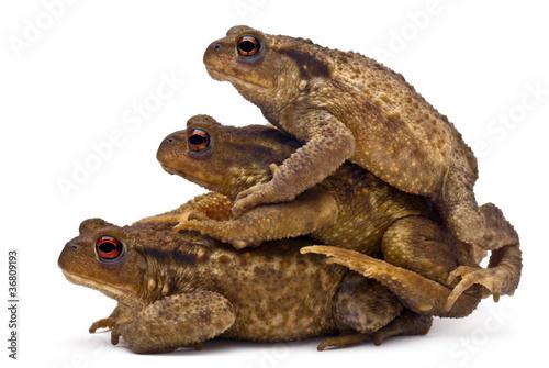Foto op Plexiglas Kikker Three common toads or European toads, Bufo bufo, stacked