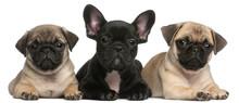 French Bulldog Puppy Between T...