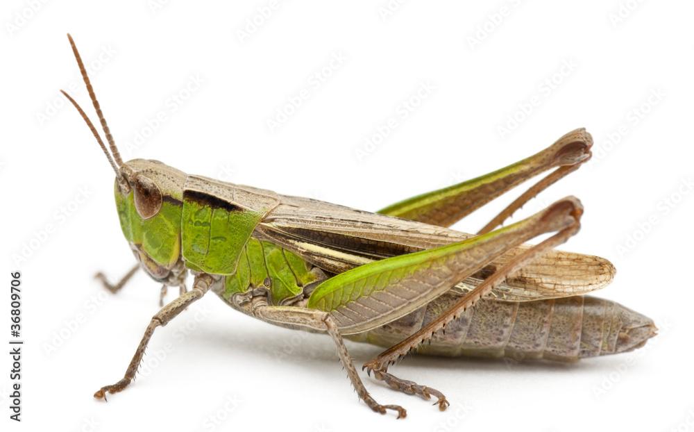 Fotografie, Obraz Cricket in front of white background