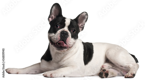 Foto op Plexiglas Franse bulldog French Bulldog, 8 months old, lying