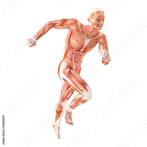 Fotografie, Obraz  Running man muscles anatomy system isolated on white background